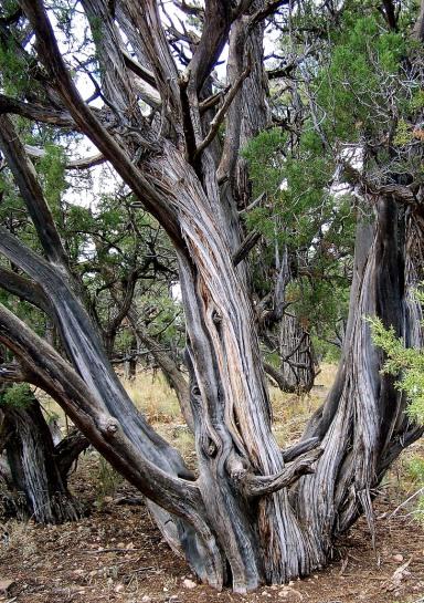 sedona tree copy